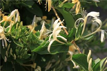 Lonicera japonica Halliana Perfect vp2