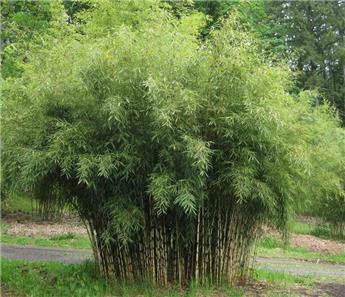 Fargesia murielae Rufa 80 100 Pot C35 XL