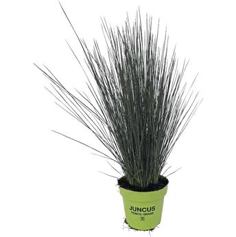 Juncus inflexus Blue Arrows Pot P11