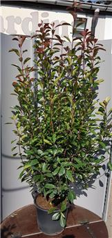 Photinia fraseri Red Robin 175 200 Pot C50 ** plante forte **