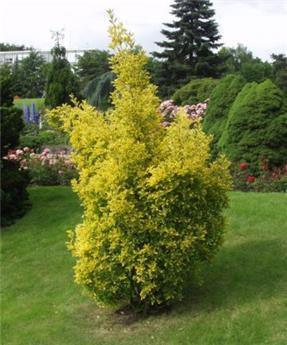 Euonymus japonicus Aureomarginatus 100 125 Pot C25
