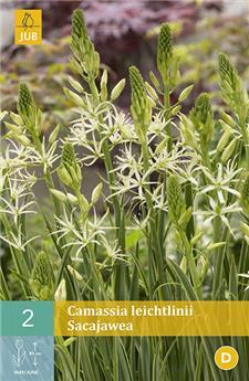 Camassia Leichtlinii Sacajawea 1 PC/ POT prêt à planter
