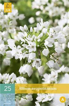 Allium neapolitanum 4/+ X 25 pc