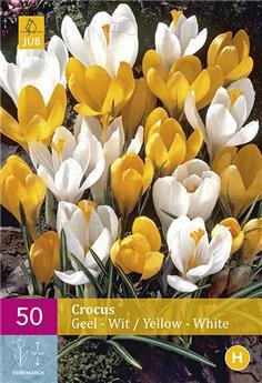 Crocus jaune/blanc 7/8 X 50 pc XXL