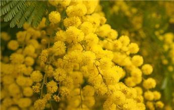 Acacia dealbata Le Gaulois 60 80  / mini tige greffé Pot P18 ** mimosa**