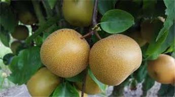 Nashi Hosui Abondance Buisson Pot
