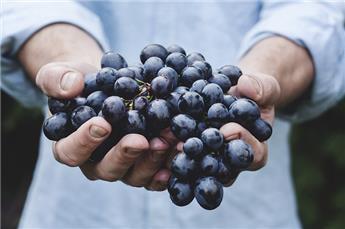 Vitis vinifera Venus Pot C2 ** sans pépins et résitants **