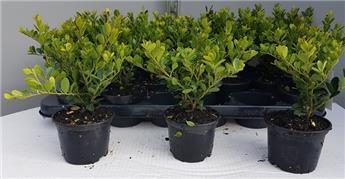 Ilex crenata Green Hedge 15 20 jpl p9 (alternative aux buis)