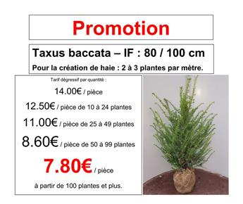 Taxus baccata 080 100 motte