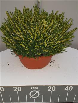 Erica darleyensis coupe Diam. 30 cm