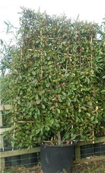 Photinia fraseri Red Robin Palissé sur cadre 140/100