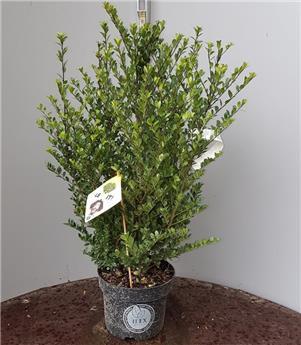 Ilex crenata Dark Green 20 25 Buisson Pot P17