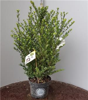 Ilex crenata Dark Green Buisson 20 30 Pot P17 - C2L