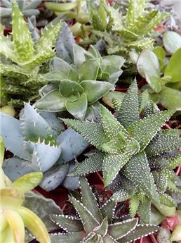 Plante grasse cactus P5