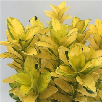 Euonymus japonica Goldmine P23
