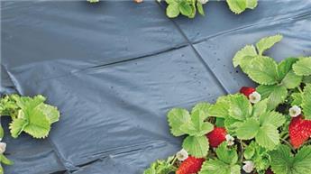 Film de paillage micro-perforcé spécial fraises - LDPE noir, 50µ - 1,40 x 20 m
