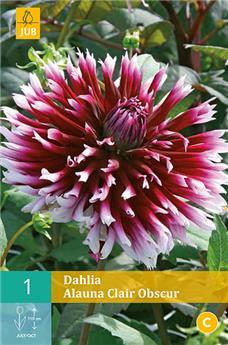 Dahlia Alauna Clair Obscur * 1 Pc