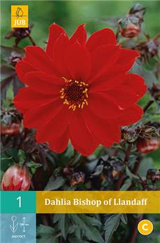 Dahlia Bishop Of Llandaff * 1 Pc