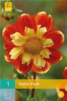 Dahlia Pooh * 1 Pc ** melifère **