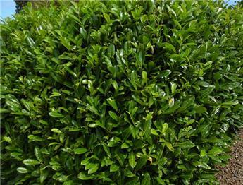 Prunus laurocerasus Novita 08 100