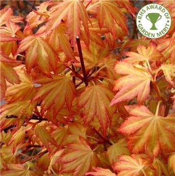 Acer palmatum Orange Dream 175 200 Pot C25L