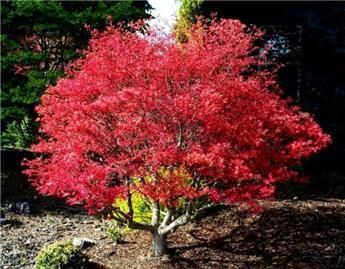 Acer palmatum Beni Maiko Tg 90 cm Tête diam. 80 100 Pot C30