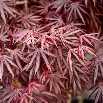 Acer palmatum Trompenburg 60 80 Pot C14