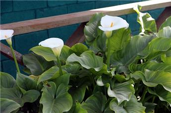 Zantedeschia siberia Blanc P14
