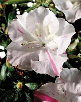 Azalea japonica Encore® Carnival Pot C8