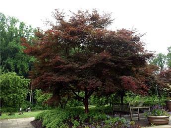 Acer palmatum Sumi Nagashi 80 100 Pot C6-7