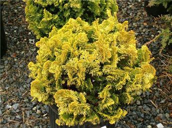 Chamaecyparis obtusa Nana Aurea 20 25 Pot C3