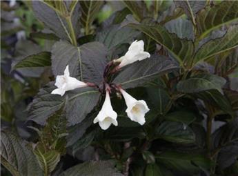 Weigela florida Ebony And Ivory (PBR) Pot C3.6