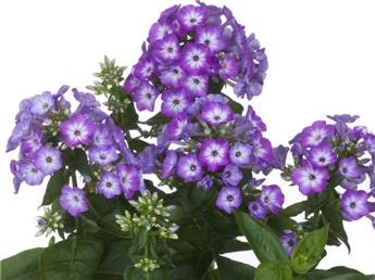 Phlox Paniculata Flame Purple Eye C.4L