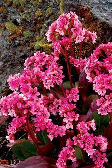 Bergenia Pink Dragonfly Pot C10