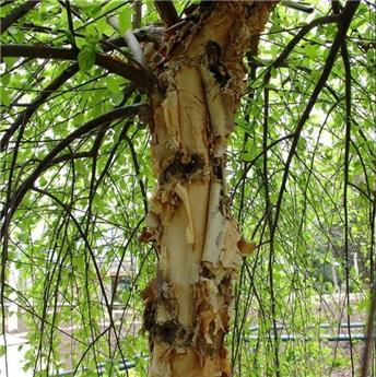 Betula nigra Summer Cascade Baliveau 150 200 ** Bouleau pleurer nain ** Pot