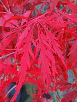 Acer palmatum Fire Cracker Pot C14