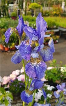 IRIS sibirica Bleu C.2L RC