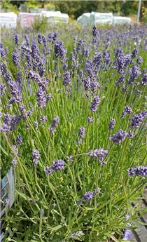 Lavandula angustifolia Essence Purple Pot P26 - C7.5L