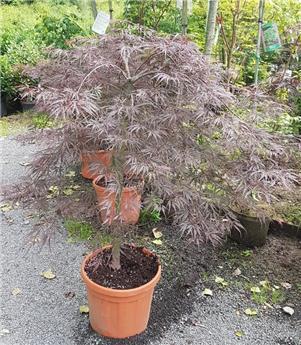 Acer palmatum inaba Shidare 150 175 Pot P43 - C35L