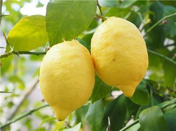 Citrus limon citronnier jaune  Tige 40 cm Pot P22