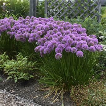 Allium  Millenium Pot P9  **Répulsif naturel gibier **
