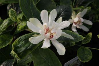 Calycanthus raulstonii Venus Pot C10 XXL ** Parfumée **