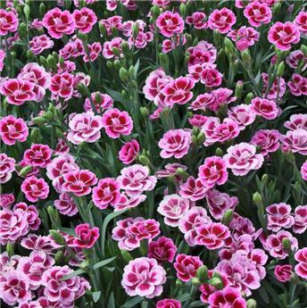 Dianthus Pink Kisses Pot P12-13