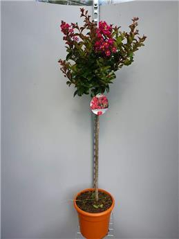 Lagerstroemia indica Enduring Summer Red sur tige 80 cm Pot C18L