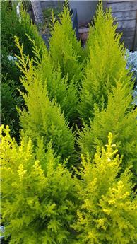 Cupressus macrocarpa Goldcrest Wilma 60 80 Pot P17