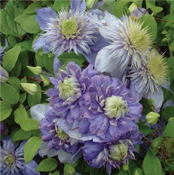 Clematis Blue Light Pot C4 * XXL