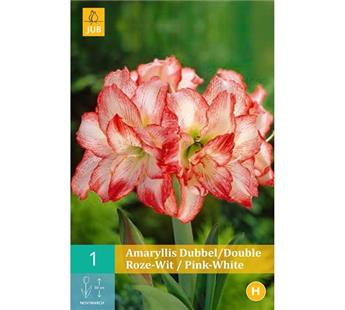 Amaryllis double rose-blanc * 1 pc cal.28/30