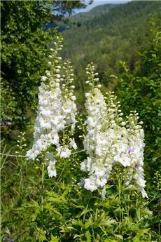 Delphinium elatum Excalibur Pure White P17