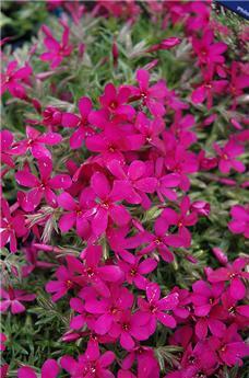 Phlox subulata Craker Jack P11