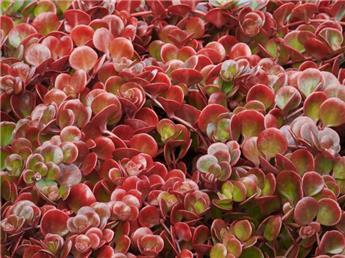 Sedum tetractinum Coral Reef Pot P12